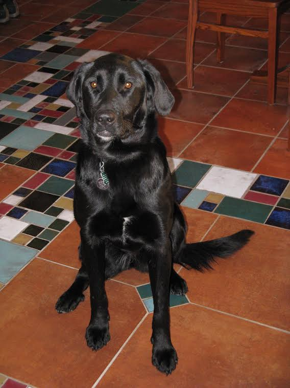 Silla | Black Lab 10 year old female Available for Adoption