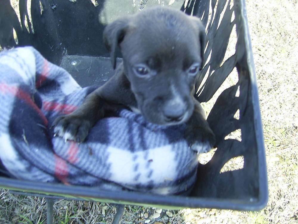 Olin| Lab/Shepherd Mix 8 week old male Available Soon