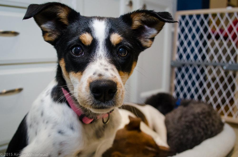 Sofia| Rat Terrier 12 week old female Adoption Pending