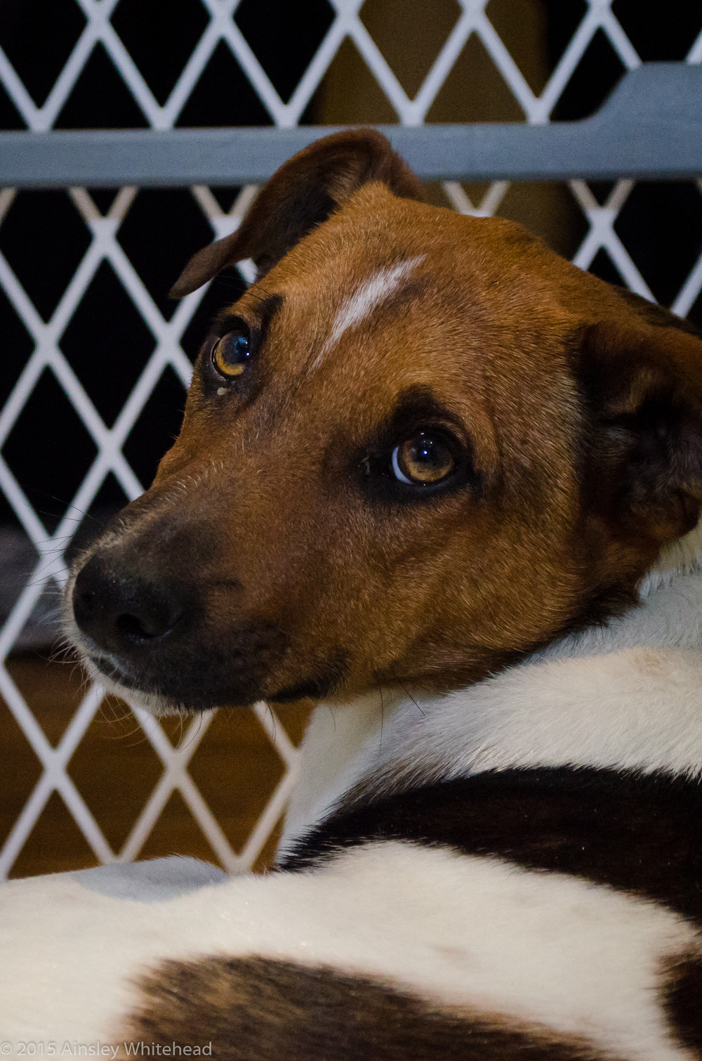 Franco| Rat Terrier Mix 5 month old male New to Foster Care