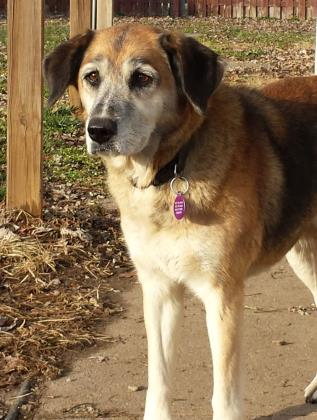 Tallulah | Shepard 6 year old female New to Foster Care