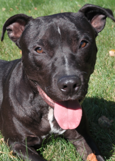 Paddy| Midnight Terrier 1 year old male Available for Adoption