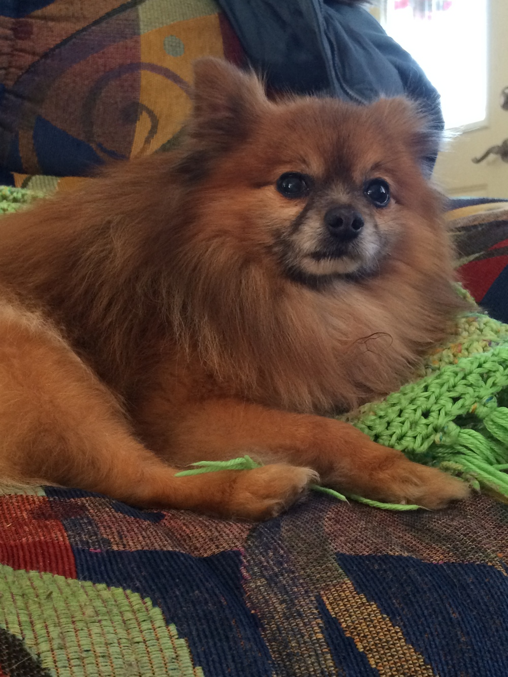 Hansel | Pomeranian 9 year old male New to Foster Care