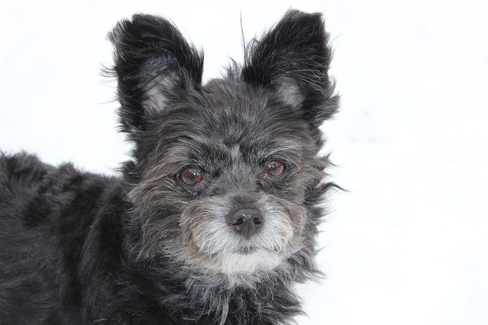 Shaggy| Pom Poodle Mix 5 year old male Available for Adoption