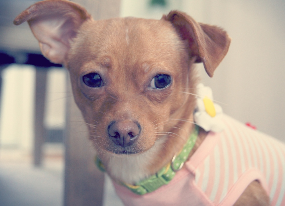 Luna | Chihuahua 8 month old female Available for Adoption