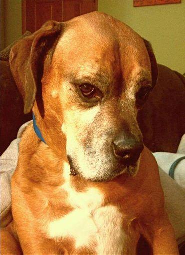 Chewbacca | Massive Bull Mastiff 7 year old male Adoption Pending!