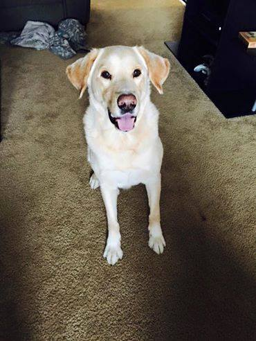 Rambeaux  Yellow Lab   6 y.o. male Available for Adoption