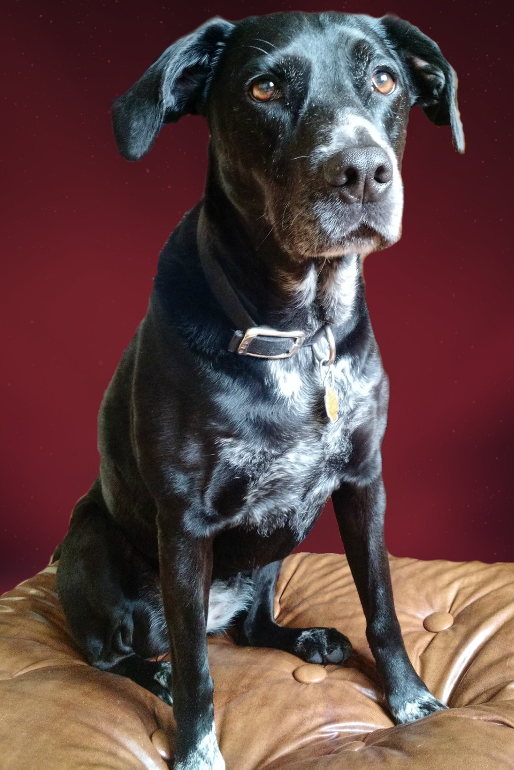 Libby  Springer Lab Mix   6 y.o. female Available for Adoption