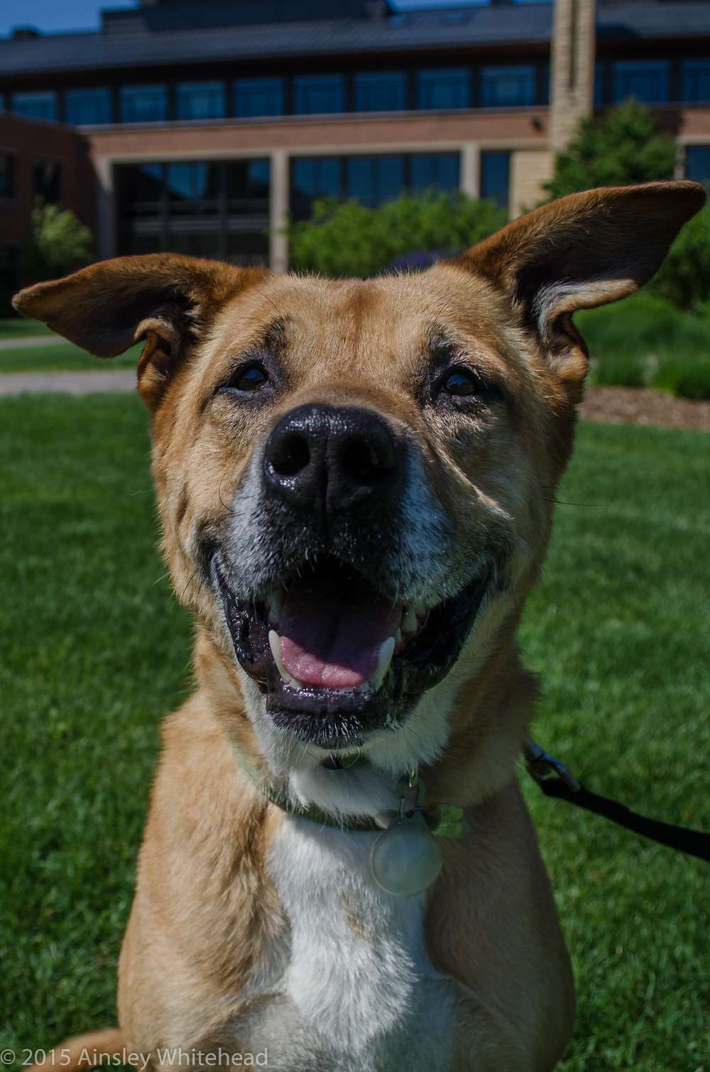 Olyvar  Boxer Mix   5 y.o. male Available for Adoption