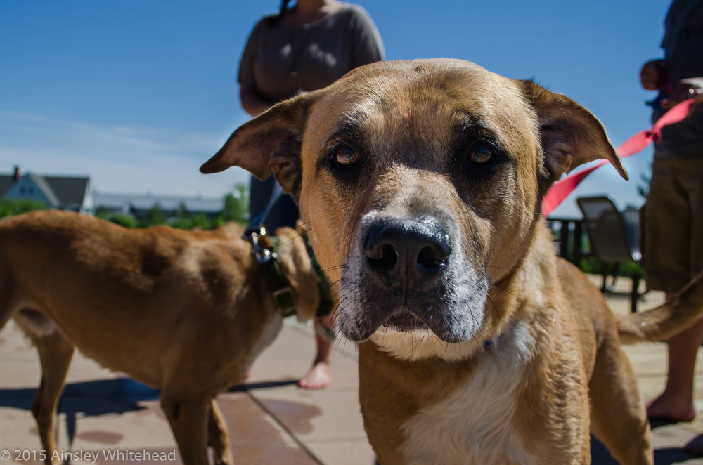 Oscar(Olyvar's Dad)   Boxer Mix   9 y.o Available for Adoption