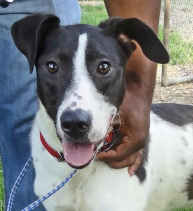 Chip   Lab Mix   1 y.o. male New to Foster Care