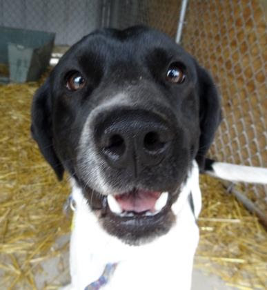 Domino   Lab/Setter   1 y.o. male New to Foster Care