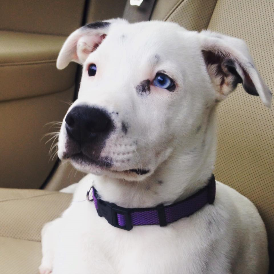 Oscar  Pit Mix   14 wk old male Ready for Adoption