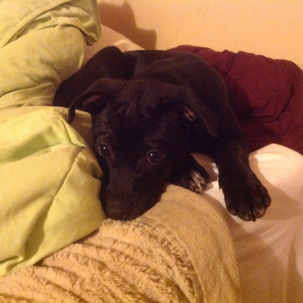 Hestia  Lab Mix   11 week old female Available for Adoption