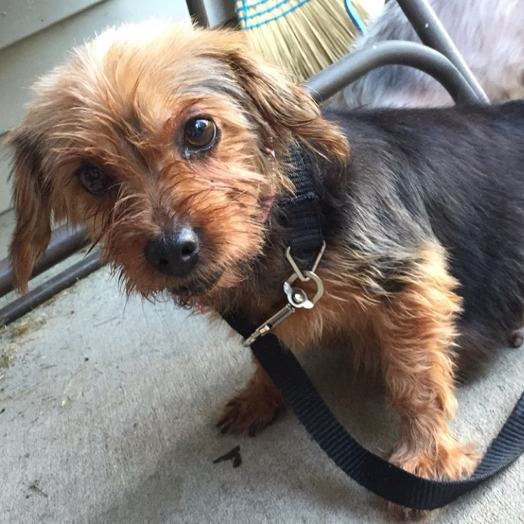 Lexus  Yorkie   7 y.o. female Available for Adoption