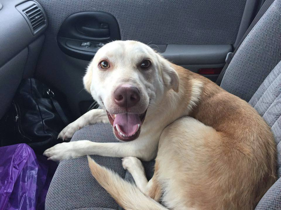 Merry  Lab Mix   3 y.o. female Available for Adoption