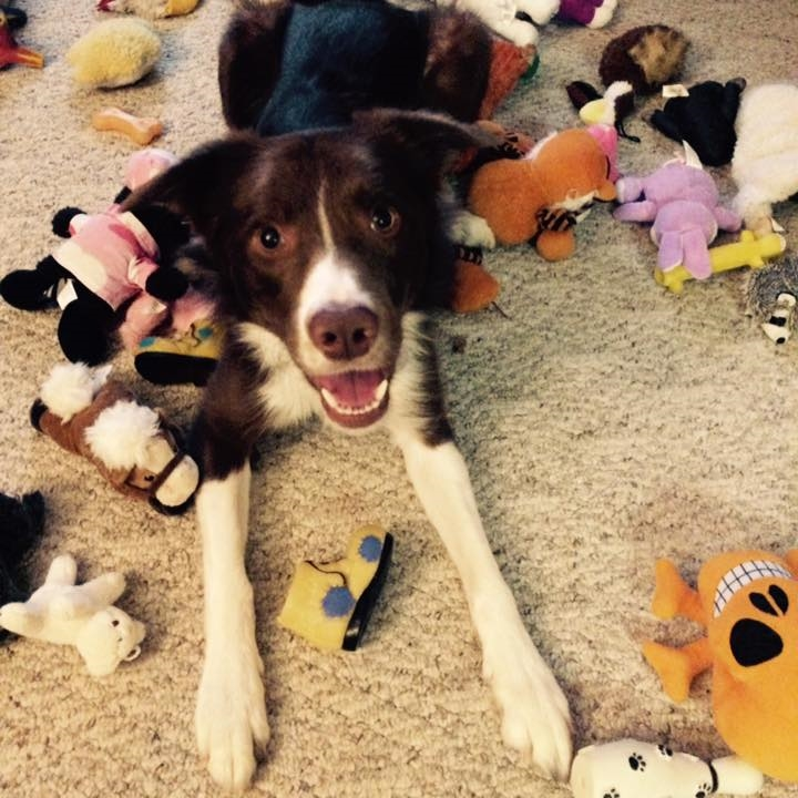 Loki  Border Collie   1 y.o. male Available for Adoption