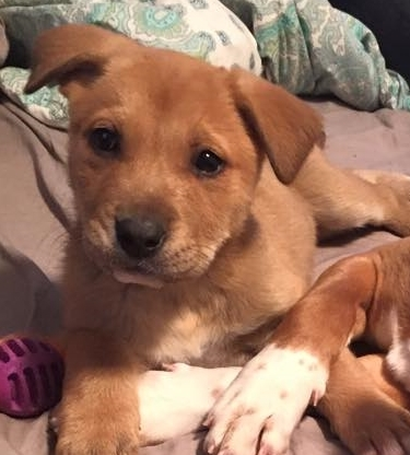 Cheerio   Lab Mix   10 week old female New to Foster Care