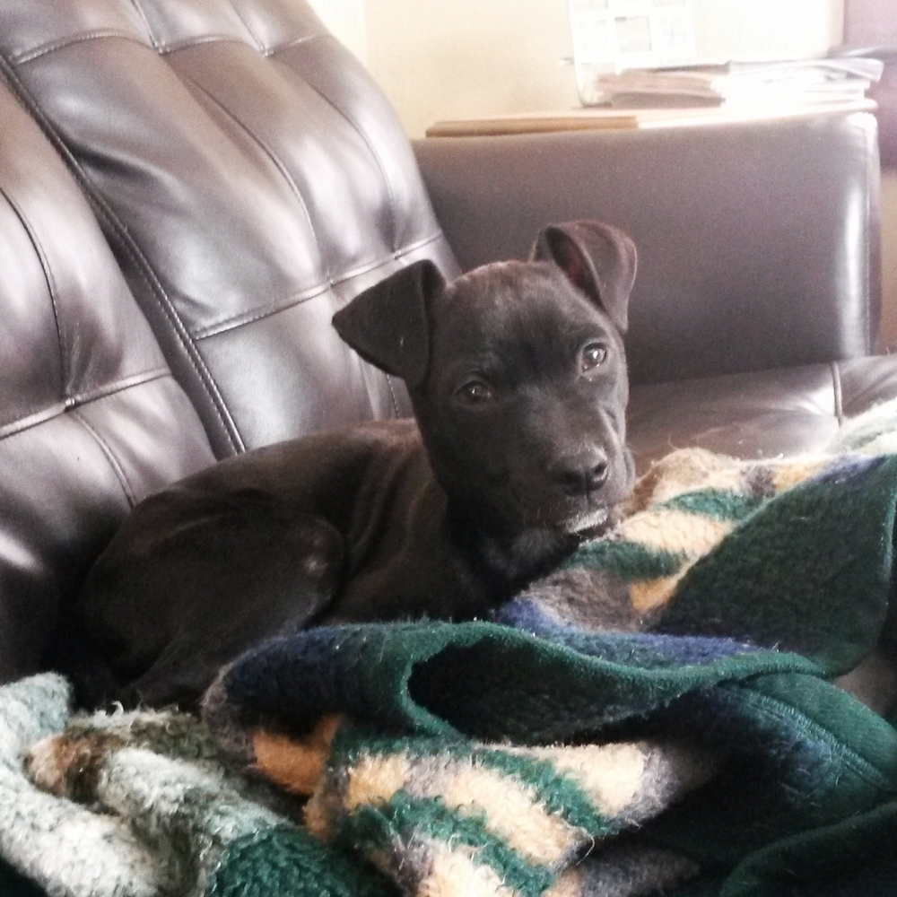 Yang  Hound/Terrier   12 w.o. male Adoption Pending!