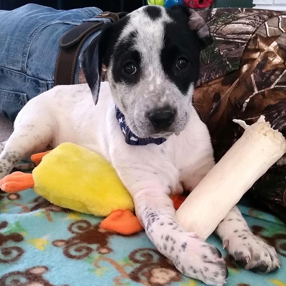 Tecia   Cattle Dog Mix   10 w.o. female Available for Adoption