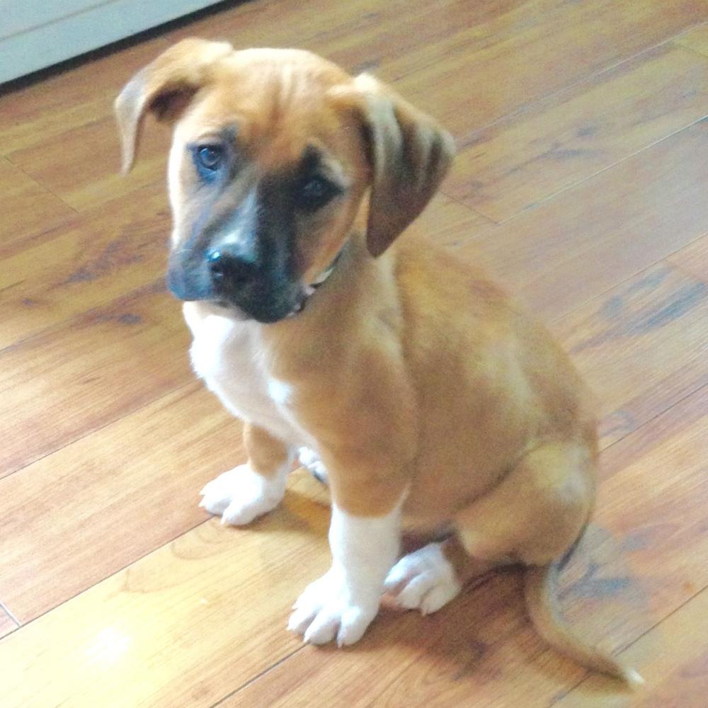 Bones   Cattle Dog MIx   10 w.o. male Adoption Pending - foster fail!