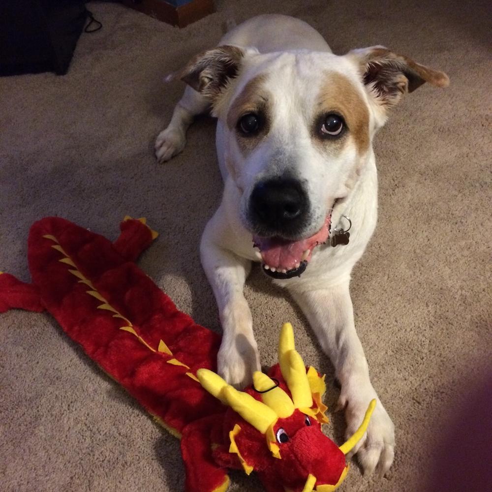 Snowflake   English Bulldog   5 y.o. F Available for Adoption