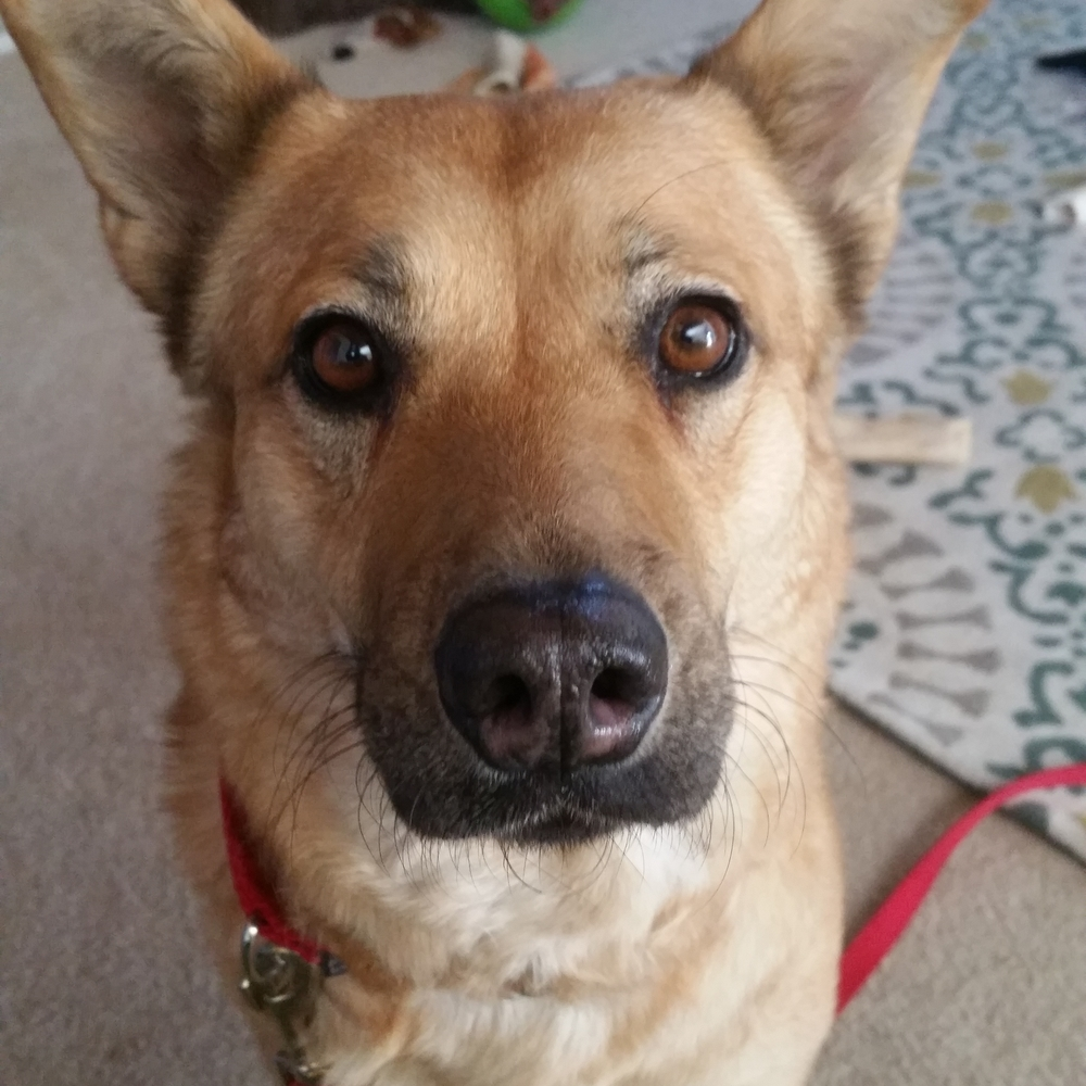 Grace  Lab Mix   1 y.o. female New to Foster Care