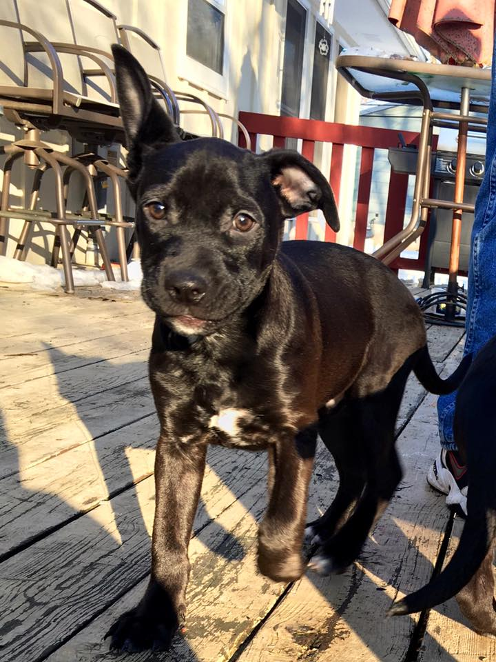 Jet  Lab Mix  10 week old male Available Soon