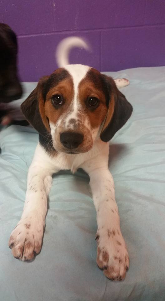 Kane  Hound Mix   4 m.o. male Available for Adoption