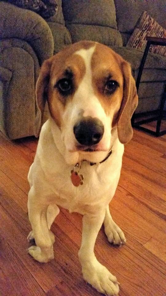 Apple  Beagle   1 y.o. female Medical Hold, Adoption Pending!