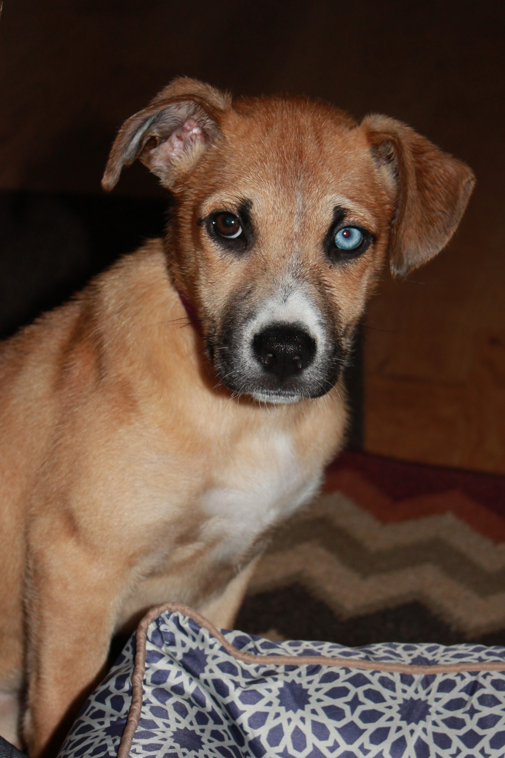 Sadie  Lab Mix   10 week old female Available for Adoption