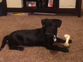 Cooper  Lab mix   5 m.o. male Available for Adoption