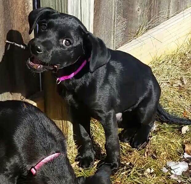 Lincoln  Lab mix   10 week old female Available for Adoption