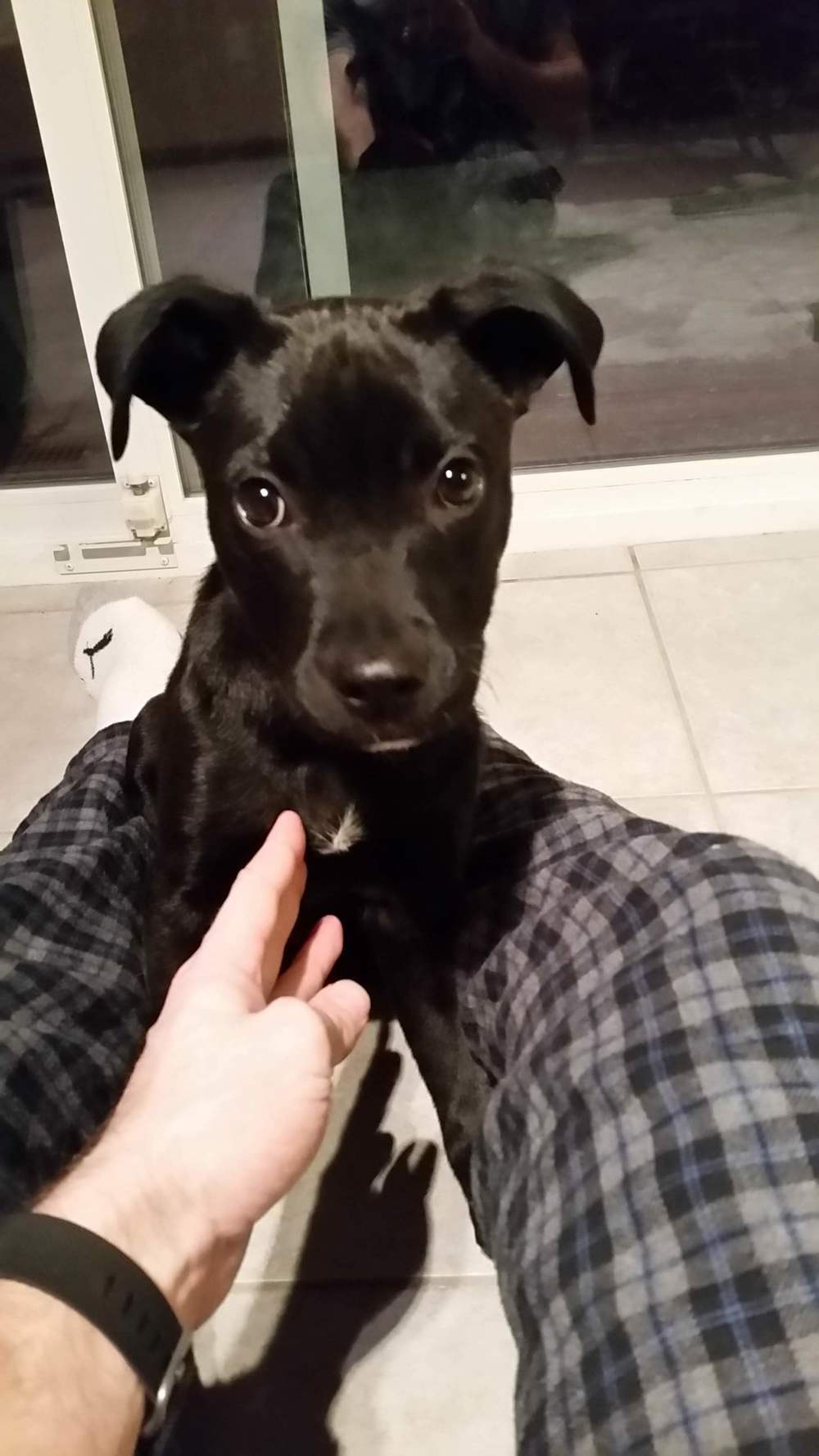 Grant  Lab Mix   10 week old female Available for Adoption