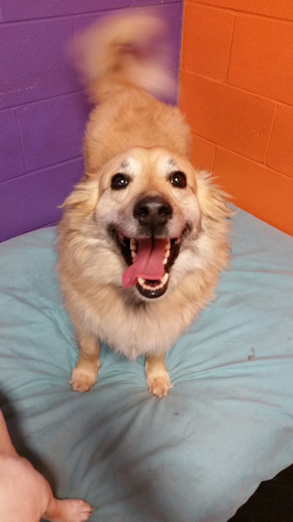 Philly  Collie Mix   7 y.o. male New to Foster Care