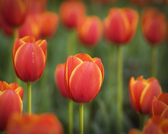 #tulips #Araluen #Perth #araluenperth