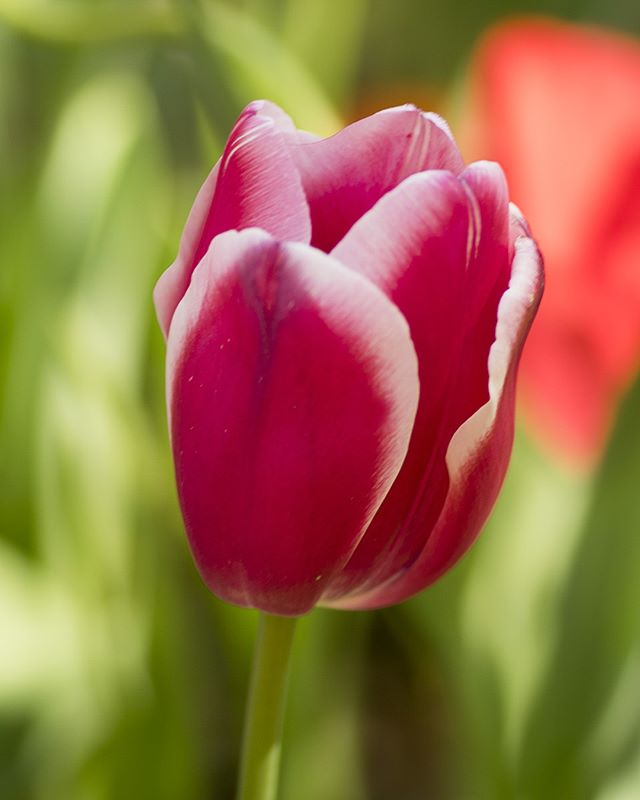 #araluen #tulips #Araluentulips #Perth