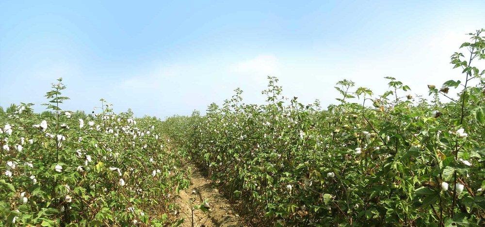 Bio-Baumwollplantage