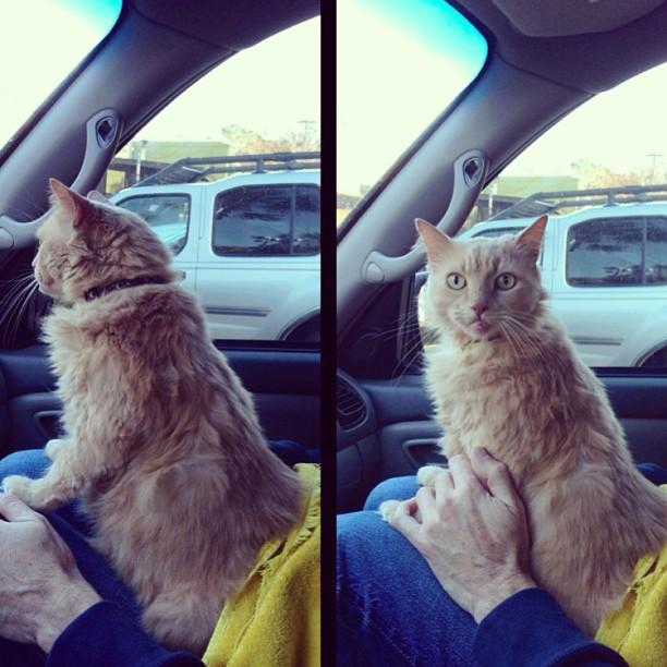 thekingchee :     Yeah, car ride! Wait…did u say Vet?! 😺🙀 #cat #cats #catstagram #catsofinstagram  #cats_in_instagram #cats_of_instagtam #animallovers #pet #pets #pestagram #pawshoutouts #petshowcases #neko #gato #gingercat #creamcat #tabby #orangecat #kitty #instacat #mycat #bestcatever     My kid.