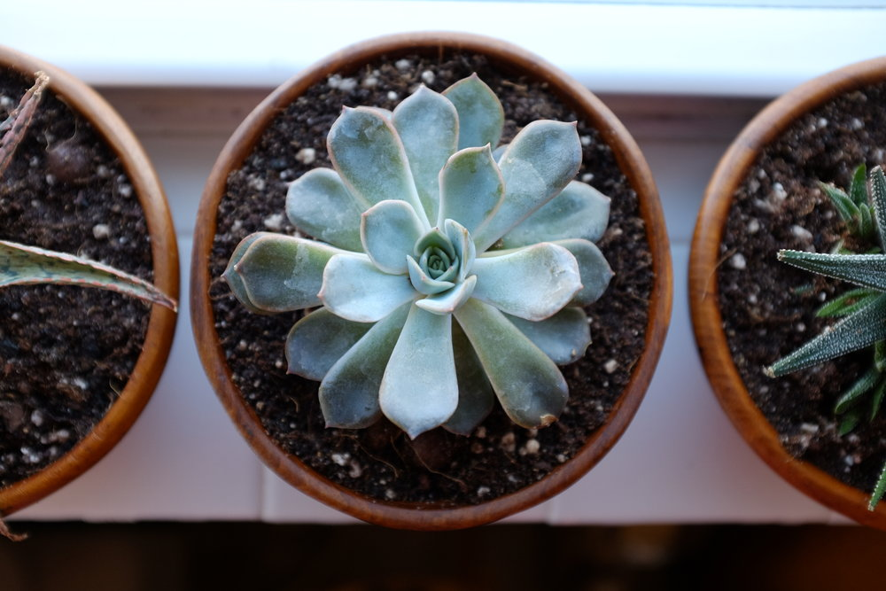 Windowsill succulents <3