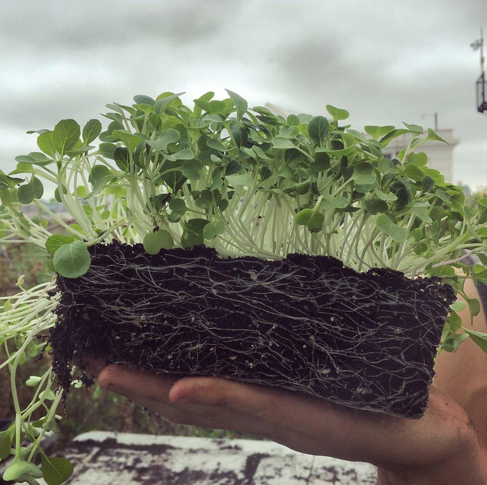 Micro-greens in soil
