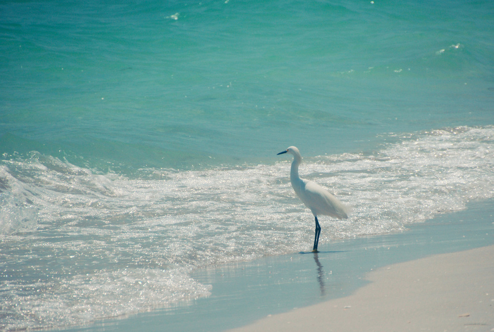 "Ernie, our ""resident"" Snowy Egret"