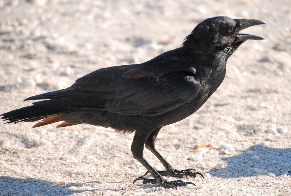 Crow_09-2012_web_DSC_0296_1500_edited-4.jpg