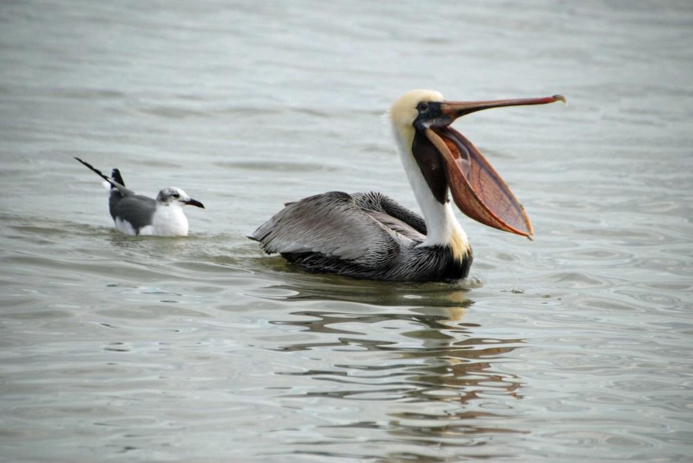 Gull-Pelican_01-10-2014_web_DSC_0631_edited-2.jpg