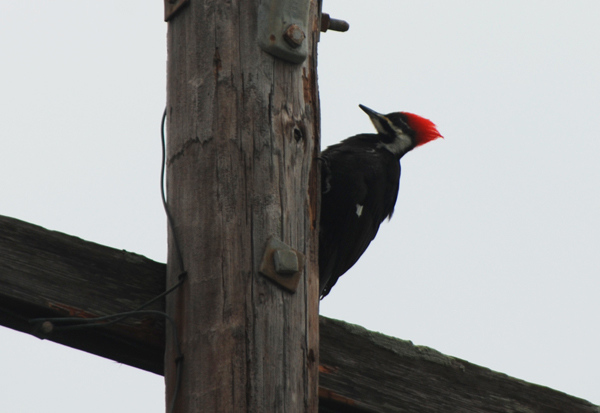 pileated2Web.jpg