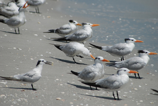 terns1Web.jpg