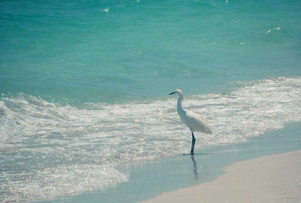 Ernie the resident snowy egret.
