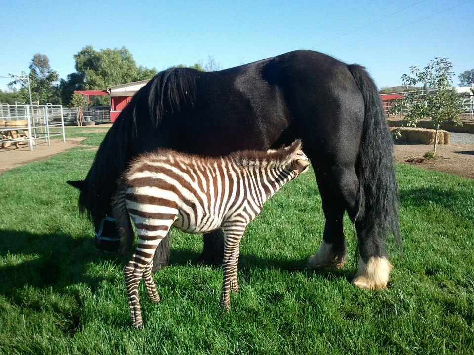 darkness and zebra baby.jpg