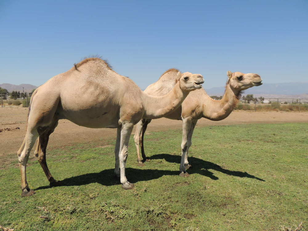 Breed Camels