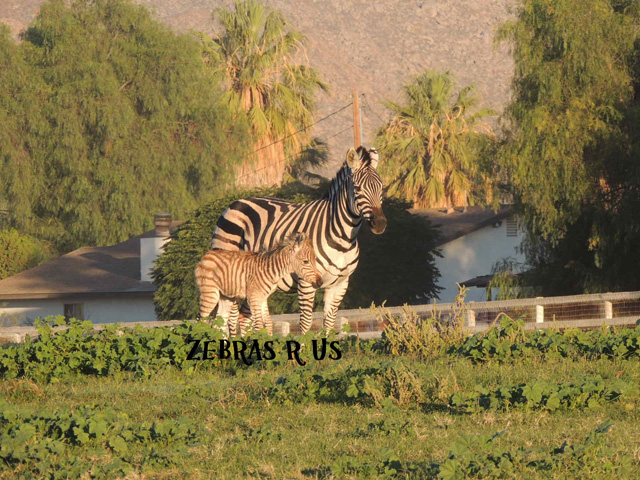Zru Liz foal 13.jpg